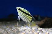 Festivum Cichlid Fish Festive Cichlid, Barred Cichlid Mesonauta festivus — Stock Photo