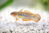 Peacock Gudgeon Tateurndina ocellicauda aquarium fish freshwater — ストック写真
