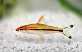 Denison's barb Roseline Shark Sahyadria denisonii red-line torpedo barb aquarium fish — Stock Photo