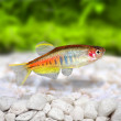 Glowlight Danio Danio choprai freshwater aquarium fish — Stock Photo #58292425