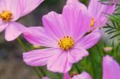 Cosmos Sonata Flowerfield pink flower field Cosmos bipinnatus — Stock Photo