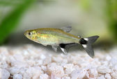 Panda Tetra dawn tetra Aphyocharax paraguayensis freshwater aquarium fish — Stock Photo