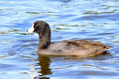 Coot water bird Fulica Duck — Stock Photo