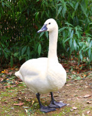 White Tundra Swan Cygnus columbianus bewickii whistling swan — Stock Photo