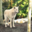 Arctic White Wolf Canis lupus arctos aka Polar Wolf or White Wolf — Photo #70623941