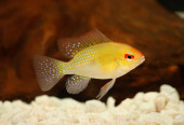 Golden Ram Dwarf cichlid Mikrogeophagus ramirezi freshwater aquarium fish — Stock Photo
