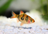 Rhombo Barb Puntius rhomboocellatus freshwater tropical aquarium fish — Stock Photo