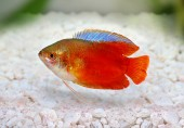 Red Flame gourami Trichogaster lalius freshwater aquarium fish — Stock Photo
