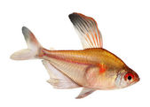 Bleeding Heart Tetra Hyphessobrycon Eryhrostigma freshwater aquarium fish isolated on white background — Zdjęcie stockowe