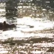Hippo swimming, common Hippopotamus wallowing in the water — Stock Video #52456869