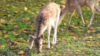 Two cute fawns cropping the grass — Stock Video