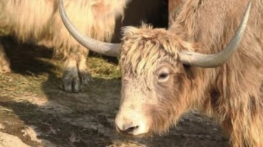 Yak eating, close up footage on yak animal — Stock Video