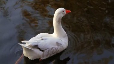 White goose floating on the water surface annoyed by a falling tree leaf — Stock Video