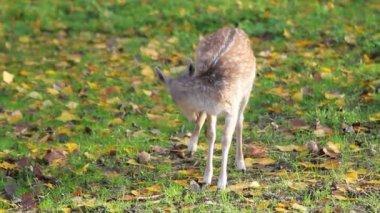 Deer grazes the grass — Stock Video