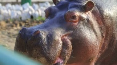 Close up on hippopotamus head, common hippopotamus — Stock Video