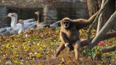 Bored monkey, white-handed gibbon seating — Stock Video