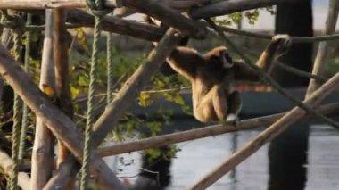 Loopable monkey stunt — Stock Video