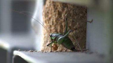 Grasshopper eating grain — Stock Video