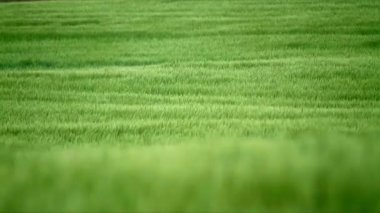 Field with green barley — Stock Video