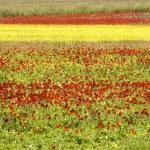 The Flowering of Castelluccio di Norcia — Stock Photo #55295661
