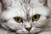 Big gray cat — Stock Photo