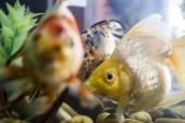 Aquarian small fish — Stock Photo
