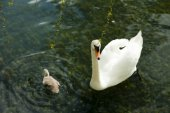 Swans in a pond — Stock Photo