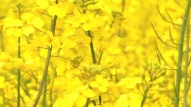 Bee in Rapeseed Field — Stock Video
