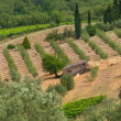 Young olive grove — Stock Photo #58100023
