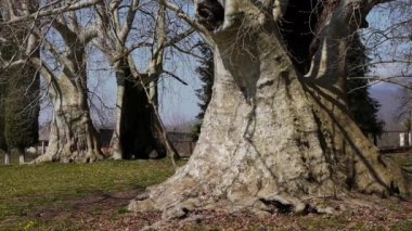 Giant Sycamores in Early Spring Season — Stock Video