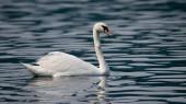 Mute Swan — Stock Photo