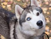 Husky close up with colored eyes — Stock Photo