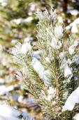 Branches of trees covered with snow — Stock Photo