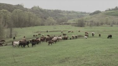 A herd of cows and sheep — Stock Video