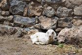 Lamb Saiq Plateau — Stock Photo