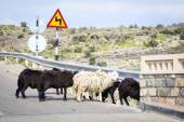Sheeps Oman — Stock Photo