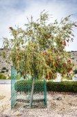 Bottlebrush Saiq Plateau — Stock Photo