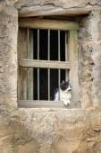 Oman cat — Stock Photo