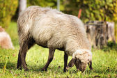 Grazing sheep in autumn — Stock Photo