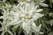 エーデルワイスの花 — ストック写真