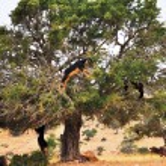 Moroccan goats in an Argan tree (Argania spinosa) eating Argan n — Stock Photo #67261401