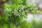 Juniper berries wet of the morning dew — Stock Photo