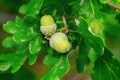 Oak branch with two green acorns — Stock Photo