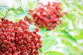 Red rowan berries on a tree — Stock Photo