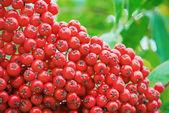 Close up bright rowan berries on a tree — Stock Photo