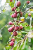 Victoria plums during autumn — Stock Photo