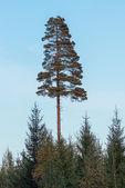 High majestic pine tree — Stock Photo
