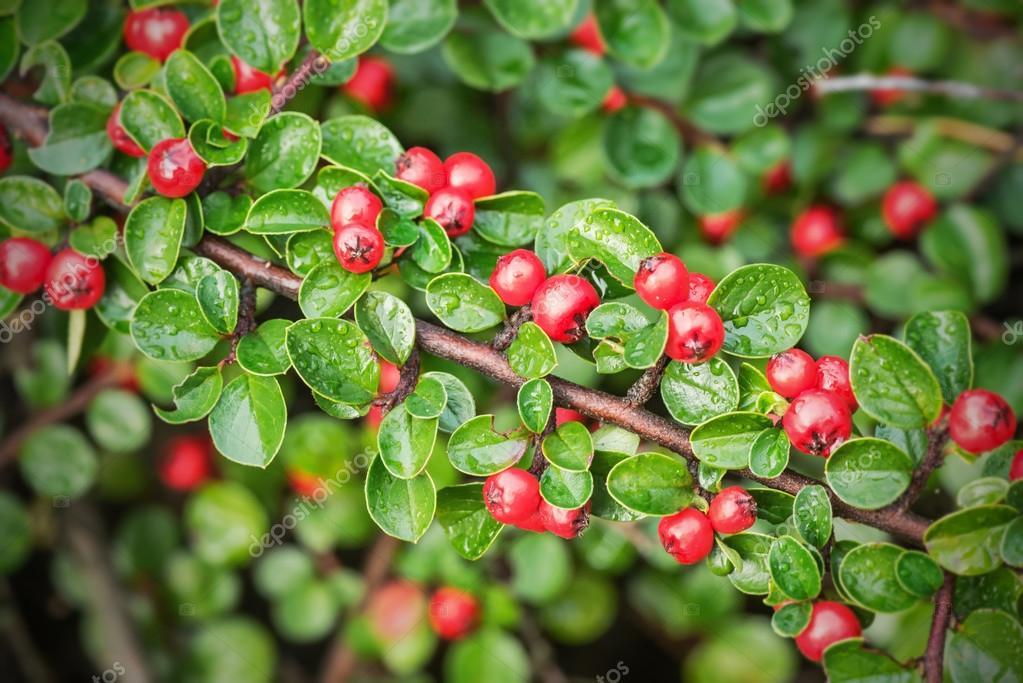 fruits rouges sur un petit arbuste photographie steho 54916577. Black Bedroom Furniture Sets. Home Design Ideas