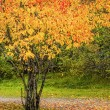 Colorful tree during autumn in a park — Stock Photo #54926057