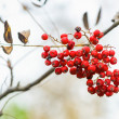 Cluster of rowan berry on a twig — Stok fotoğraf #56176641